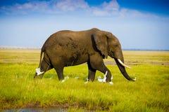 Elephants in Amboseli Stock Photography