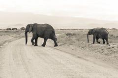 Elephants in Amboseli Stock Photo