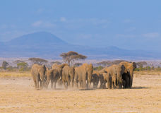 Elephants in amboseli, kenya Royalty Free Stock Photos