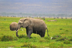 ELEPHANTS. AT Amboseli National Park, formerly Maasai Amboseli Game Reserve, is in Kajiado District, Rift Valley Province in Kenya. The ecosystem that spreads Stock Photography
