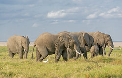 Elephants of Amboseli National Park. Group of African bush elephants  (Loxodonta africana) feeding in grassland of Amboseli National Park, Kenya Royalty Free Stock Photo