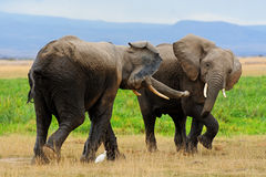 Elephants in Amboseli NP, Kenya. Royalty Free Stock Images