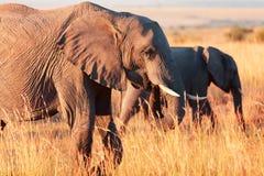 Elephants in Amboseli Stock Image
