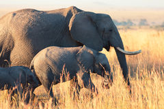 Elephants in Amboseli Royalty Free Stock Photo
