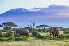 Elephants And Kilimanjaro Stock Image