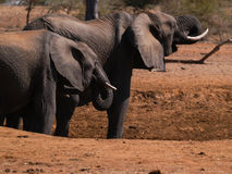 Elephants approach dry waterhole in search of water. Royalty Free Stock Photos