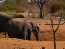Elephants approach dry waterhole in search of water. Stock Images