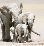 Elephants approaching. Small elephant family full of white mud approaching over dusty Etosha plains Royalty Free Stock Photography