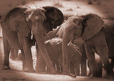 Elephants around a waterhole  in sepia with a vignetted edge - Hwange National Park Royalty Free Stock Images