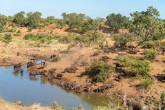 Elephants and Cape buffaloes at a waterhole. Elephants arriving at a waterhole where Cape buffaloes are drinking stock images