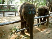 Elephants asia playful Thailand Royalty Free Stock Image