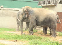 Elephants. Royalty Free Stock Photos
