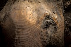 Asian elephants Close up Royalty Free Stock Image