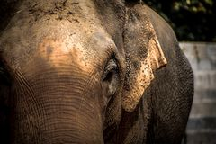 Asian elephants Close up Royalty Free Stock Images