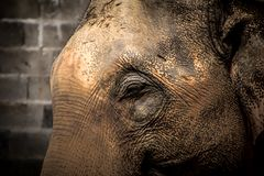 Asian elephants Close up Royalty Free Stock Photography