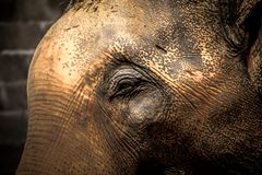 Asian elephants Close up Stock Images