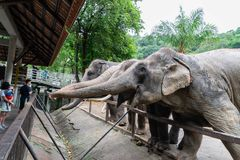 Elephants are asking for food from tourists. royalty free stock images