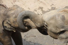 Elephants At Play Royalty Free Stock Photography