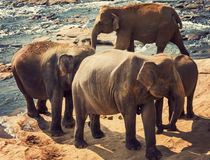 Elephants attraction river Royalty Free Stock Images