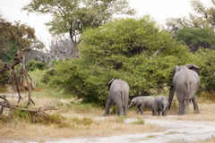 Elephants with twin babies Royalty Free Stock Photo