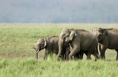 Elephants with baby elephant Stock Images