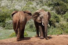 Elephants back and front Royalty Free Stock Photo