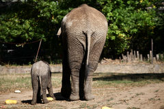 Elephants from the back. Mother and son elephants from the back eating pumpkins Stock Images
