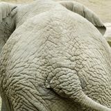 Elephants backside. The wrinkled backside of an old elephant Royalty Free Stock Photo