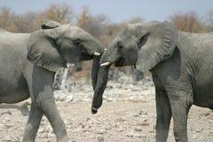Elephants baiting. Baiting elephant in Etosha national park, Namibia Royalty Free Stock Photo