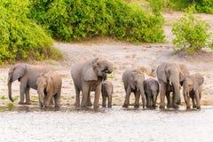 Elephants at the bank of Chobe river in Botswana Royalty Free Stock Photos