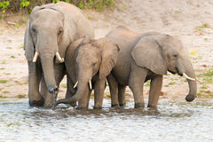 Elephants at the bank of Chobe river in Botswana Royalty Free Stock Images