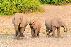Elephants at the bank of Chobe river in Botswana Stock Photo