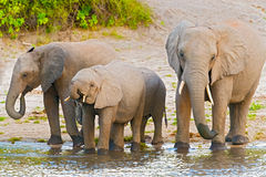 Elephants at the bank of Chobe river in Botswana Stock Photography