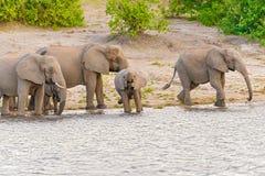 Elephants at the bank of Chobe river in Botswana Stock Photos