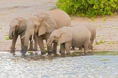 Elephants at the bank of Chobe river in Botswana Royalty Free Stock Image