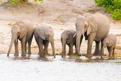 Elephants at the bank of Chobe river in Botswana Royalty Free Stock Photography