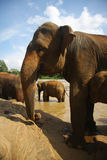 Elephants at the bank of river Royalty Free Stock Photo
