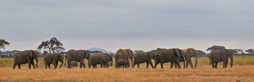 Elephants banner - Serengeti (Tanzania - Africa) Royalty Free Stock Photos