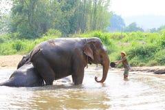Daily elephants bath at The Elephant Center royalty free stock photography