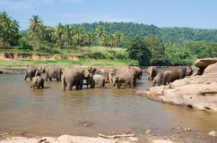 Elephants bath. In river on island Sri Lanka Royalty Free Stock Images