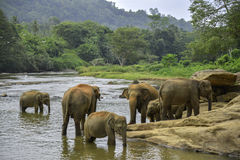 Elephants bathe Royalty Free Stock Image