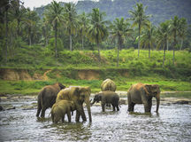 Elephants bathe Stock Photos