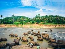 Elephants bathe in the Oya river in Sri Lanka, Pinnawala Elephant Orphanage.  stock images