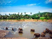 Elephants bathe in the Oya river in Sri Lanka, Pinnawala Elephant Orphanage.  royalty free stock image