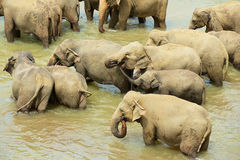 Elephants bathe in a river in Pinnawala, Sri Lanka. Stock Image
