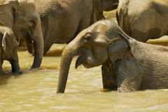 Elephants bathe in a river in Pinnawala, Sri Lanka. Stock Images