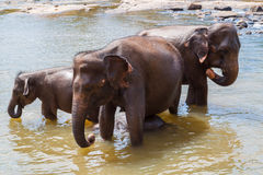 Elephants bathe in the river Stock Photo