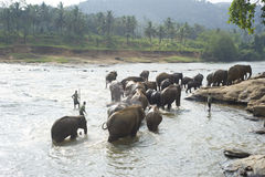 Elephants bathing Stock Photography