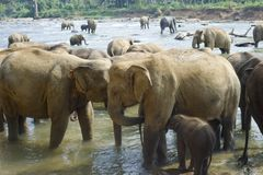 Elephants bathing Stock Images