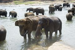 Elephants bathing Royalty Free Stock Photography